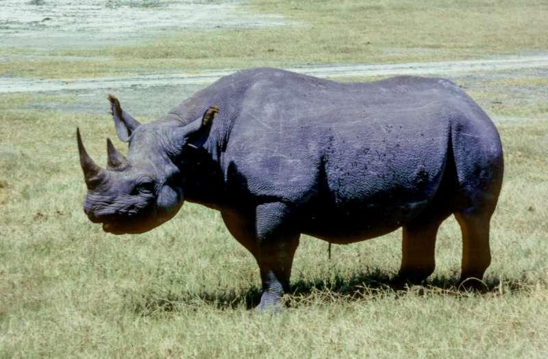 Le rhinoc ros blanc et noir for Le noir et le blanc